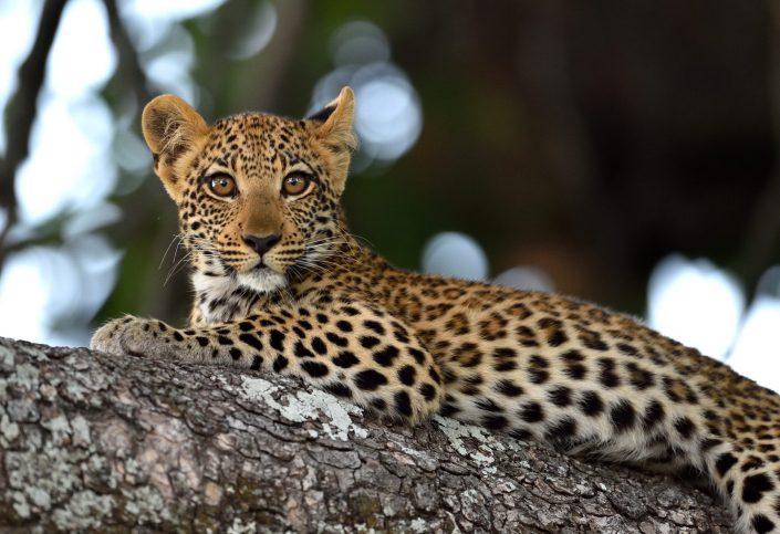 Junger Leopard auf dem Baum