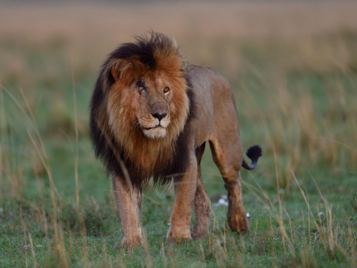 Masai Mara Scarface 2016