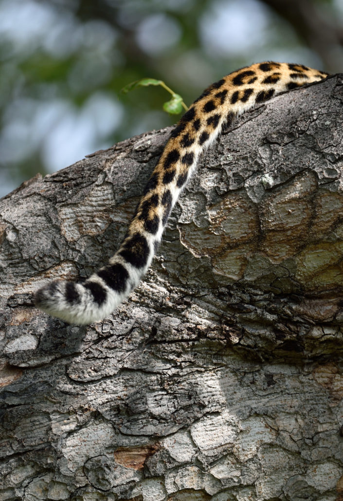 Leopard im Okavango Delta, Pom Pom Camp