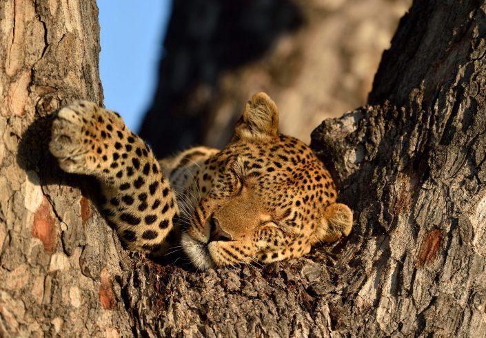 Leopard schläft auf Baum, Botswana