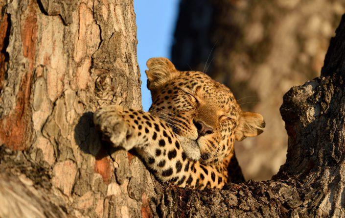 Leopard schläft auf dem Baum im Okavango Delta