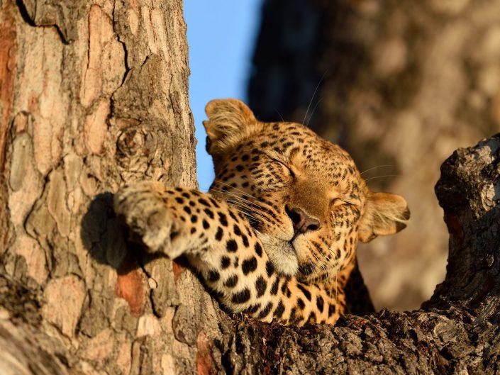 Leopardenfamilie im Okavango-Delta