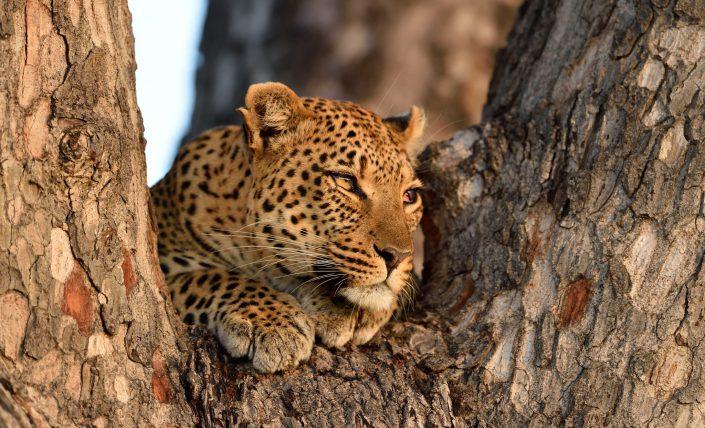Leopard beobachtet Beute