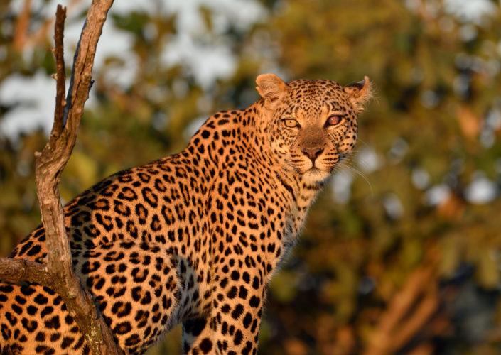 Leopard im Morgenlicht mit einem blinden Auge