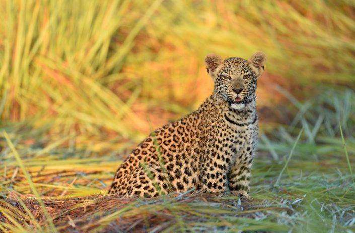 Junge Leopardin im goldenen Gras