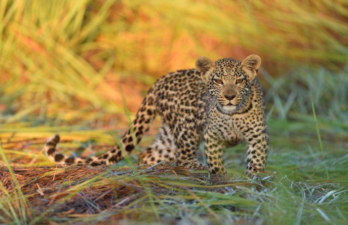 Junger Leopard im hohen Gras mit goldenem Hintergrund