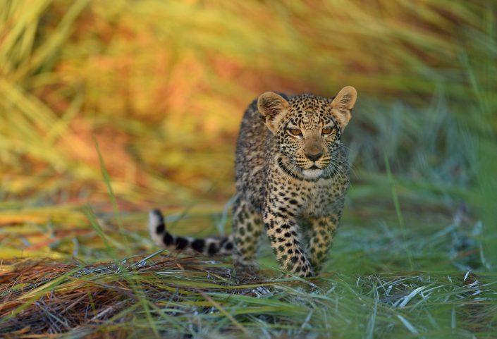 Leopard Okavango Delta Botswana