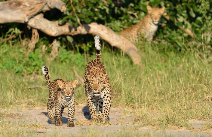 Leoparden im Morgenlicht im Okavango Delta