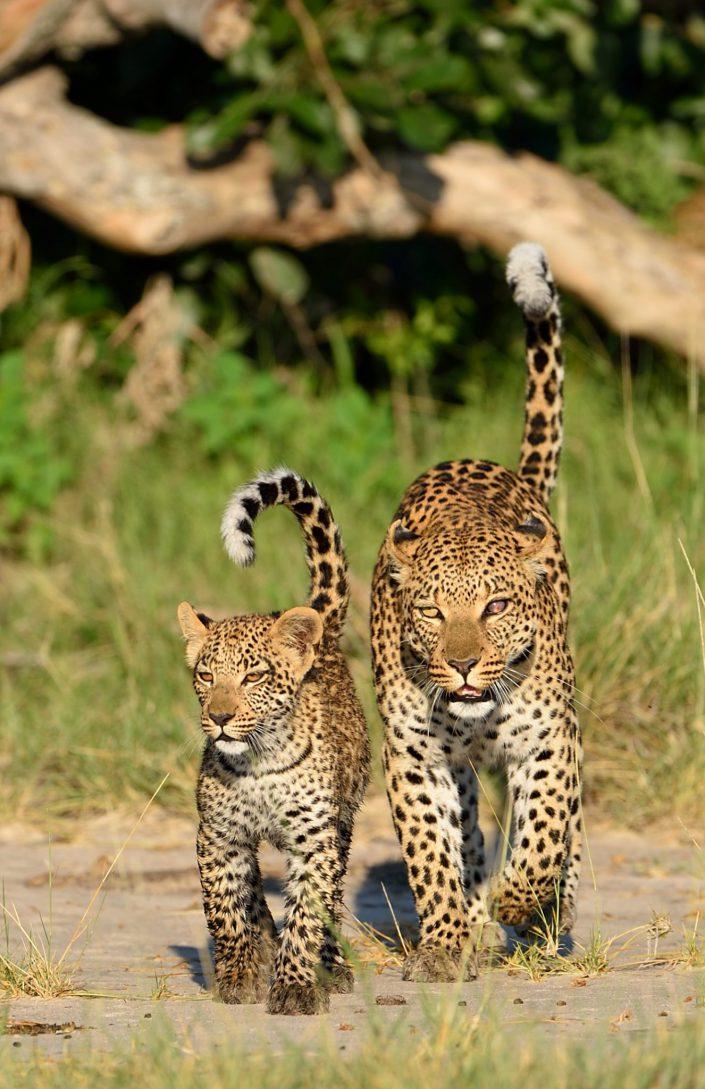 Zwei Leoparden laufen auf den Fotografen zu