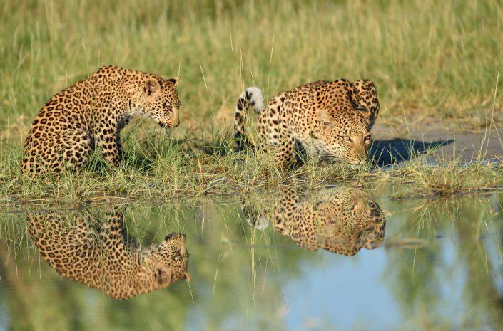 Leopardenmutter mit Kind am Trinken im Okavango Delta in Botswana