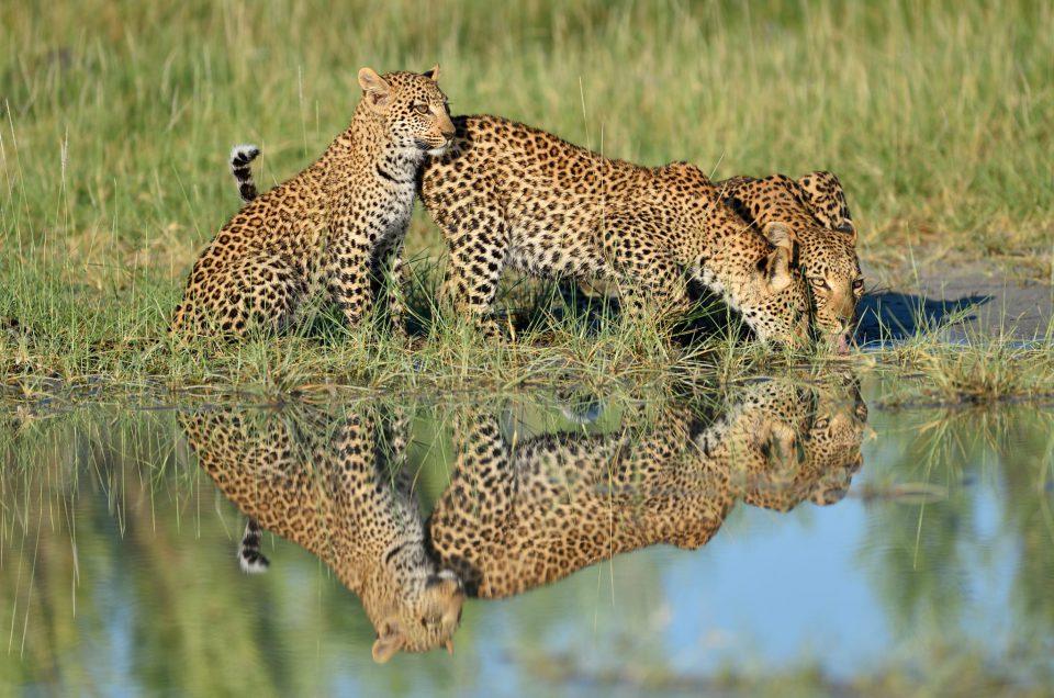 Drei Leoparden mit Spiegelbild am Trinken