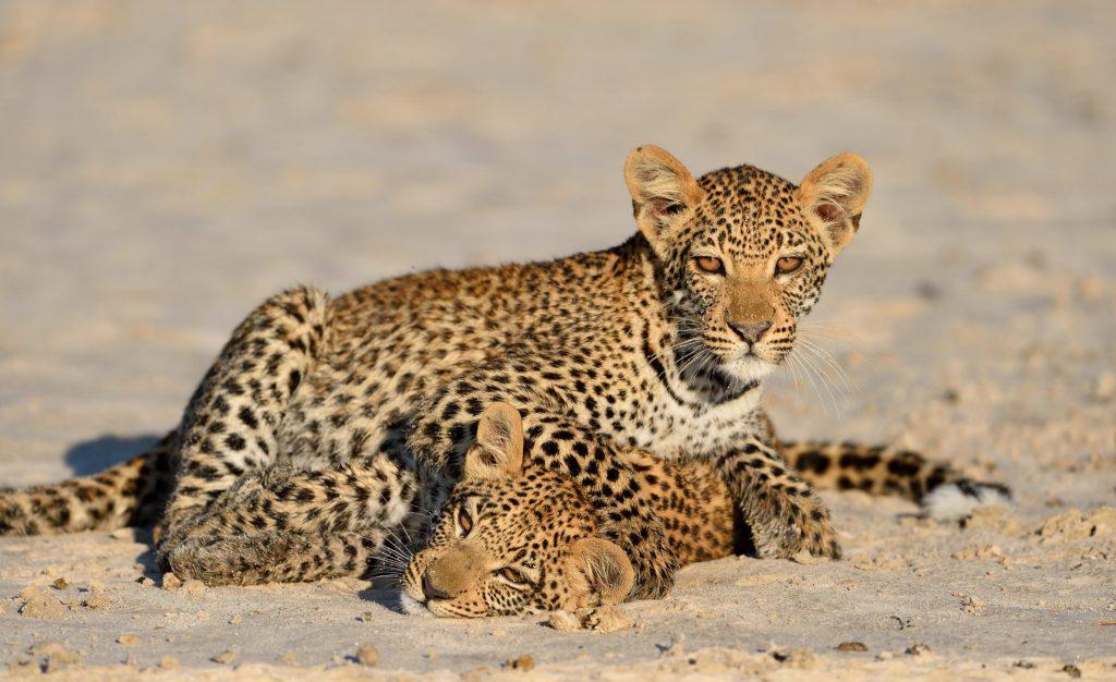 Zwei Leoparden Kinder beim Spielen