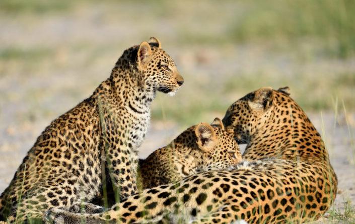 Zwei junge Leoparden trinken bei der Mutter Milch