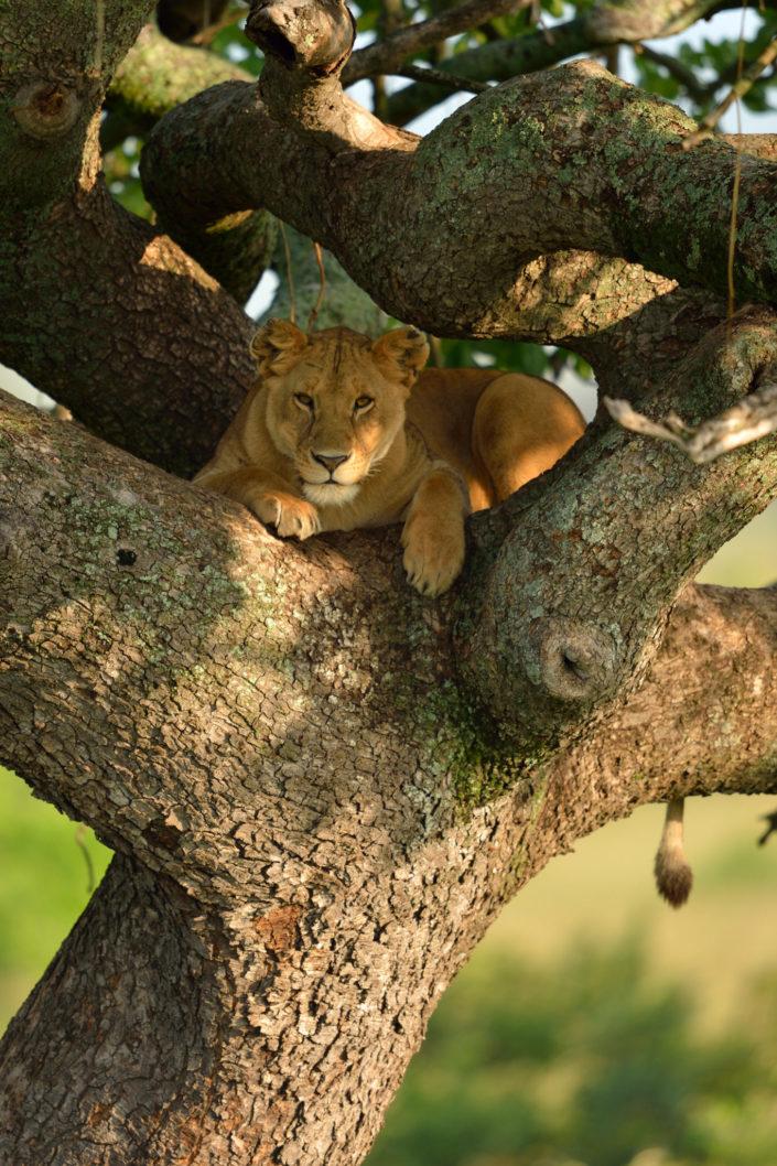 Löwin auf dem Baum