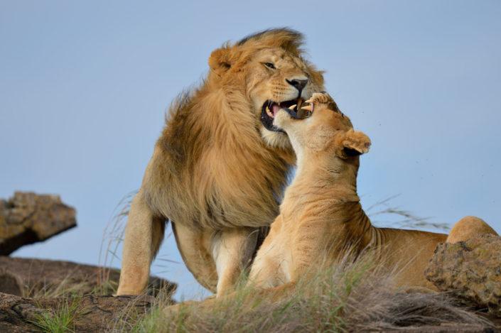 Löwen streiten sich