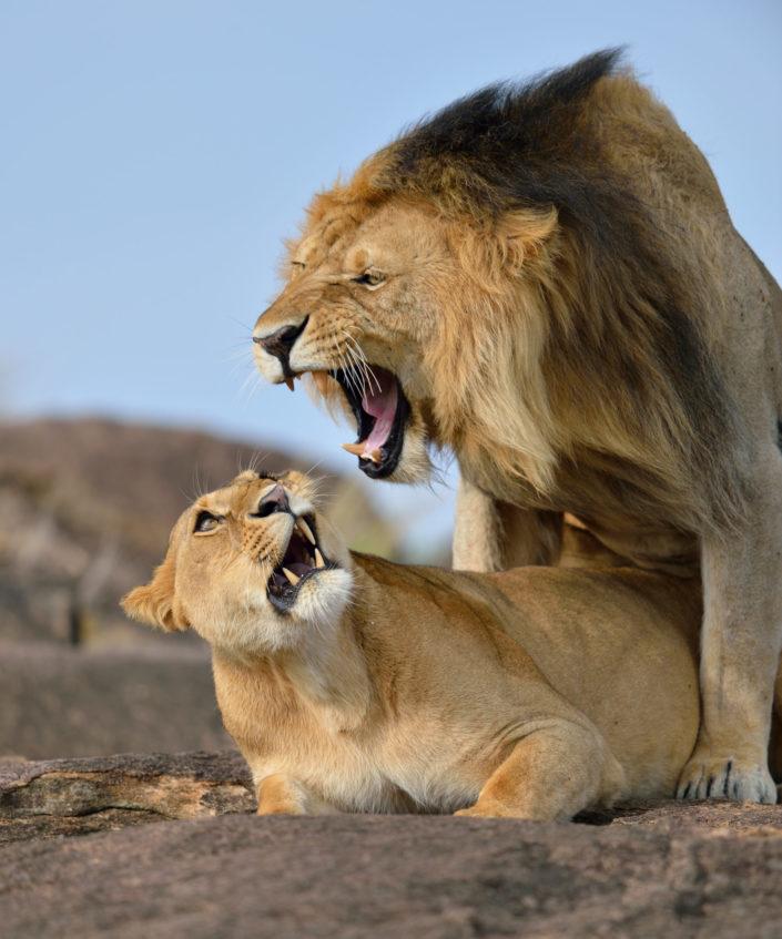 Löwengebrüll - Lion Roar