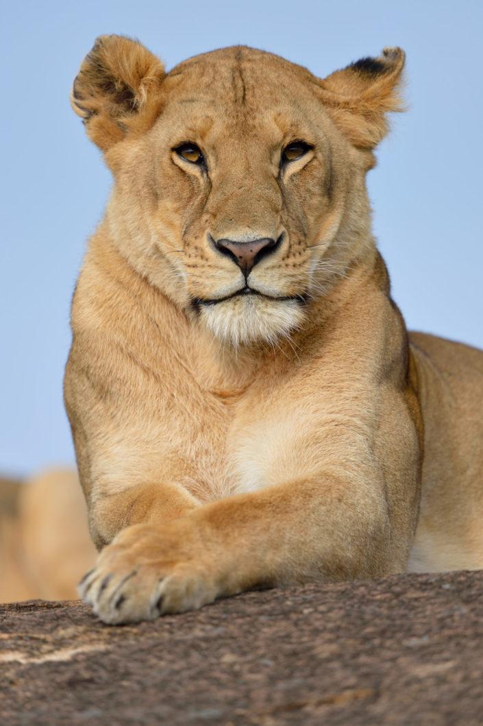 Schöne Löwin auf dem Felsen