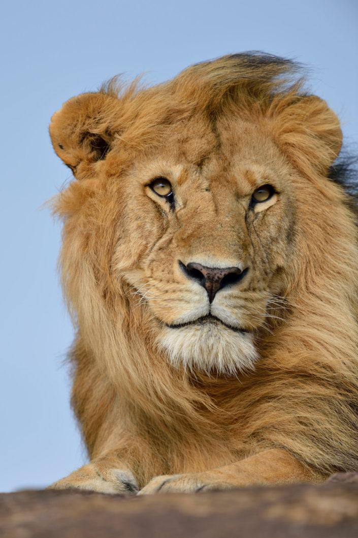 Schöner Löwe auf dem Felsen