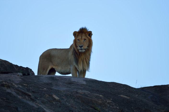 Löwe auf dem Felsen