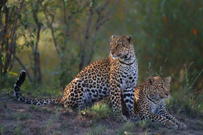 Kenia, Masai Mara: Leoparden