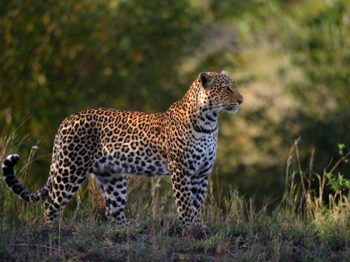 Masai Mara Leoparden 2017