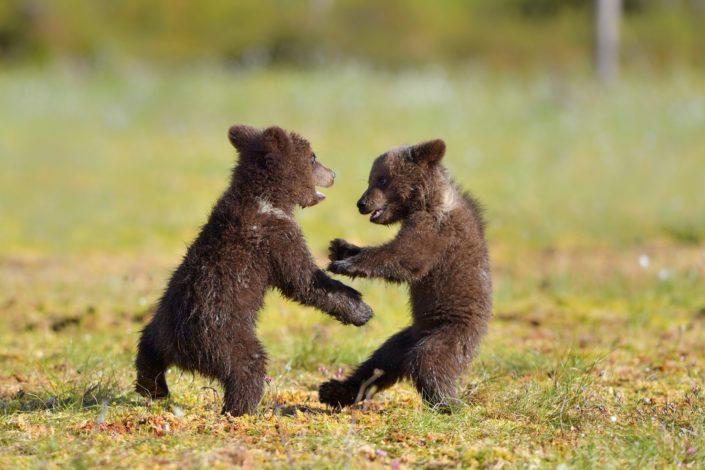 Finnland Bären beim Tanzen