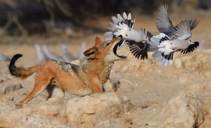 Kgalagadi, Cubitje Quap: Schakal jagt Tauben