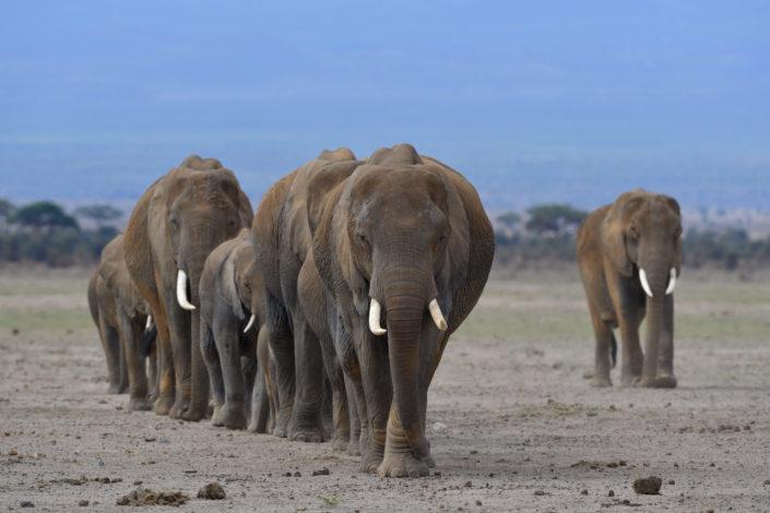 Kenia, Amboseli: Elefanten auf dem Weg zu den Sümpfen
