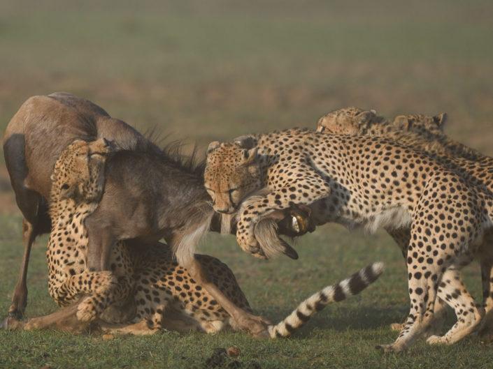 Masai Mara Cheetah Brothers 2017