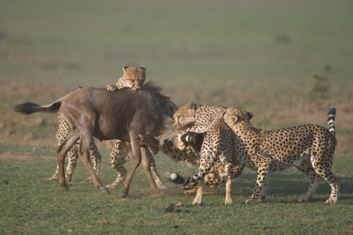 Kenia, Masai Mara: Fünf Geparden erlegen ein Gnu