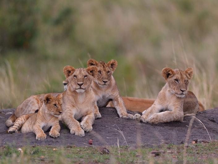 Masai Mara Löwen 2017