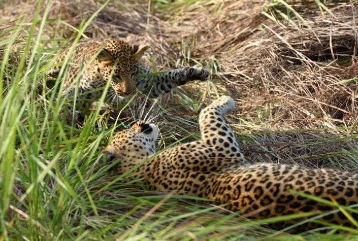 Leopardenspiel im hohen Gras