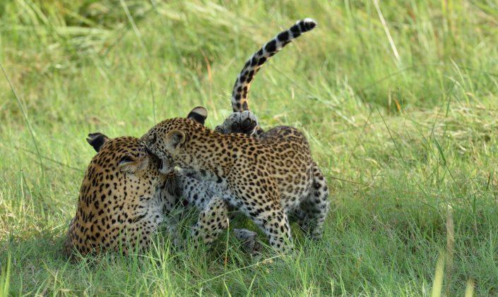 Zwei Leoparden spielen im grünen Gras