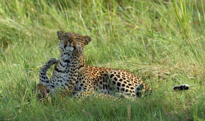 Leopardenmutter mit Kind liegt im Gras