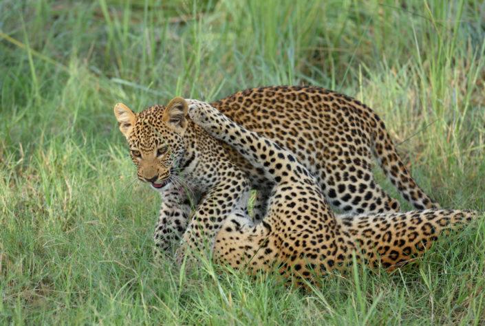 Leoparden spielen