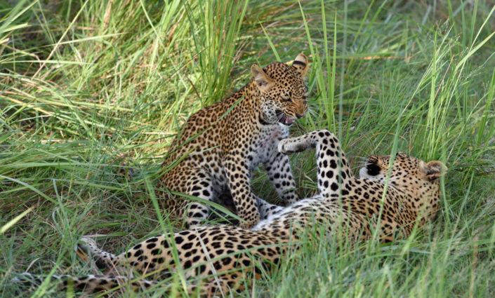 Leopardenmutter mit Kind im Gras