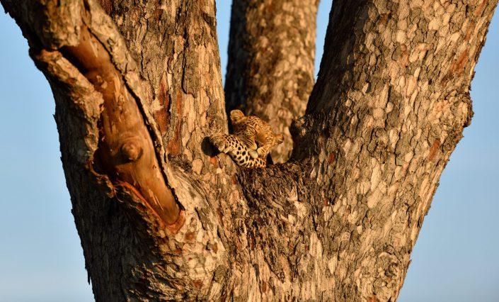 Leopard schläft auf dem Baum