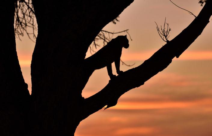 Silhouette des Leoparden im Okavango Delta