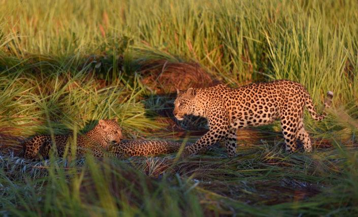 Leopardin mit zwei Jungen im grünen Gras