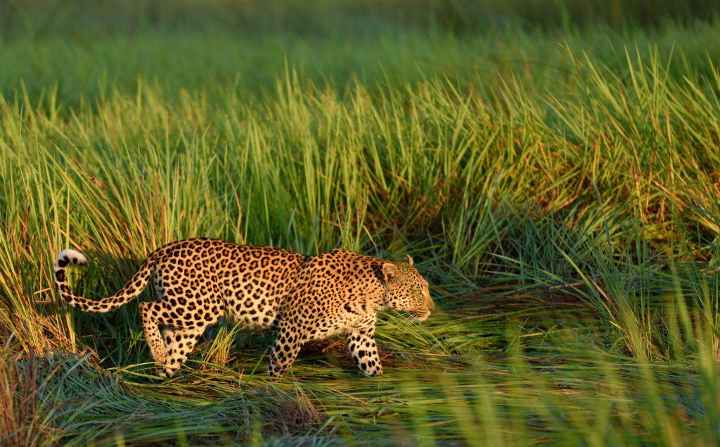 Leopard im Morgenlicht im Okavango Delta