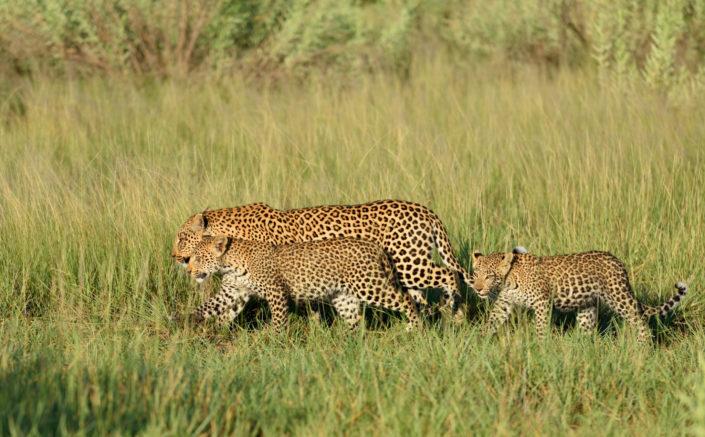Die Leoparden marschieren durch das grüne Gras
