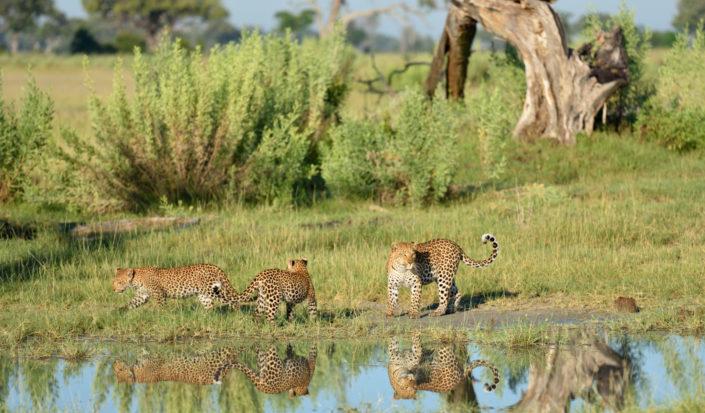 Okavango Paradies mit drei Leoparden