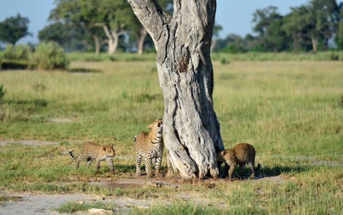 Drei Leoparden um einen Baum