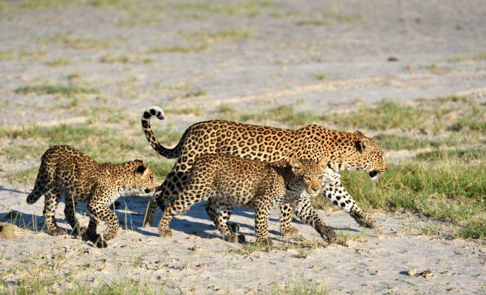 Drei Leoparden überqueren eine Salzpfanne im Okavango Delta