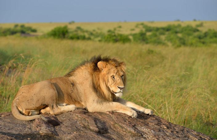Löwe mit Mähne im Morgenlicht