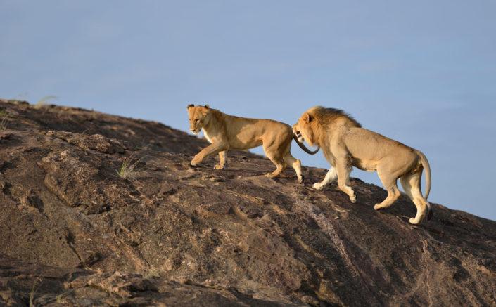 Löwenpaar auf dem Felsen