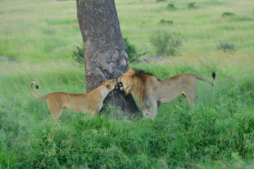 Löwenpaar am Baum