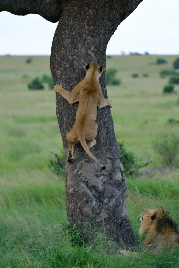 Löwe klettert auf Baum