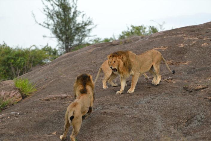Safari Highlight in der Masai Mara