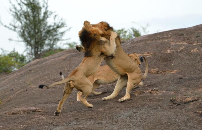 Löwenkampf in der Masai Mara